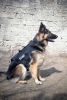 K 9 TIER Alpha Dog Harness
